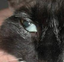 Cat Droopy Watery Eye